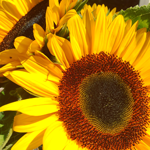 Close up image of sunflowers